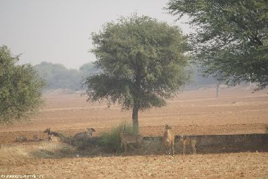 india.2007/rajasthan.deer.small.jpg
