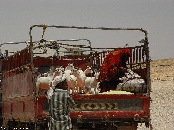 yemen.2007/goat.in.truck.small.jpg